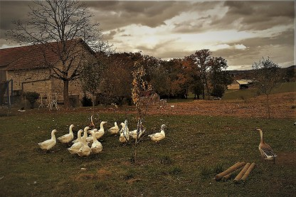 Free range French geese