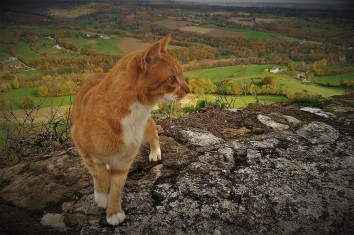 Limousin cat