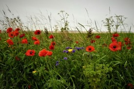 Somme flowers of remembrance