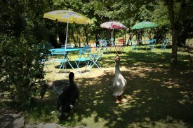 Toulouse Geese in a French garden